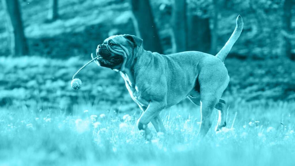 Torsione dello stomaco cane