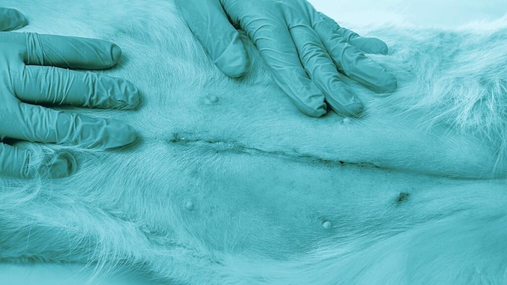 Sterilizzazione cane femmina pro e contro