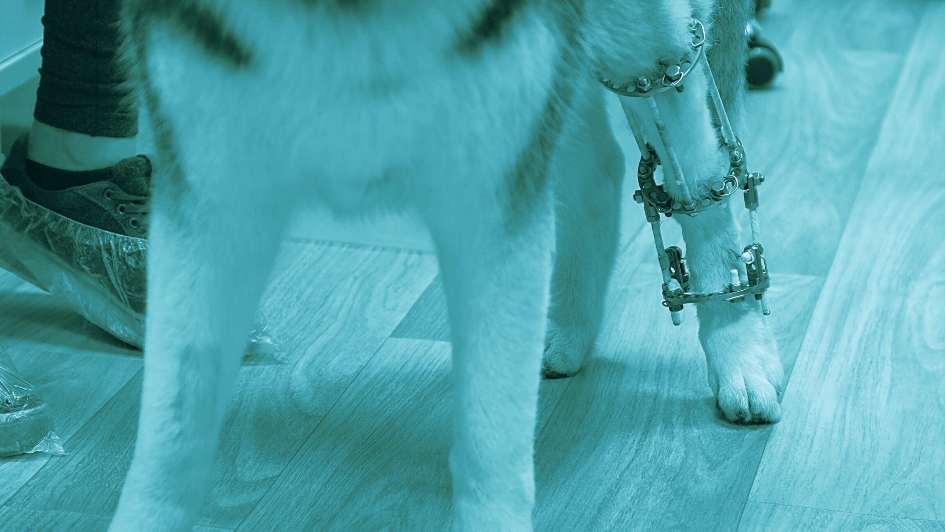 ortopedia e traumatologia veterinaria