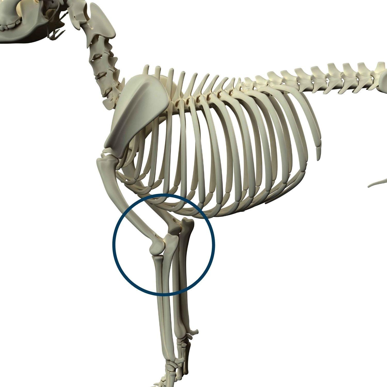 articolazione del gomito cane anatomia schema