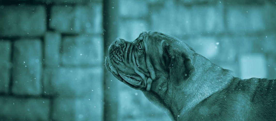 piometra cane